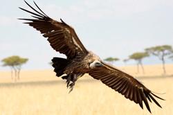 White-Backed Vulture in flight.