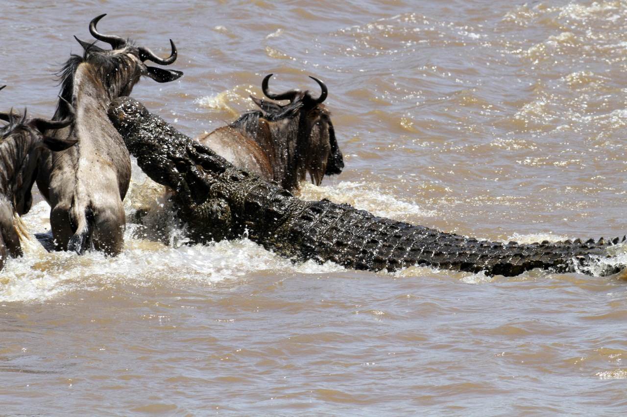 Hunting Nile Crocodile.
