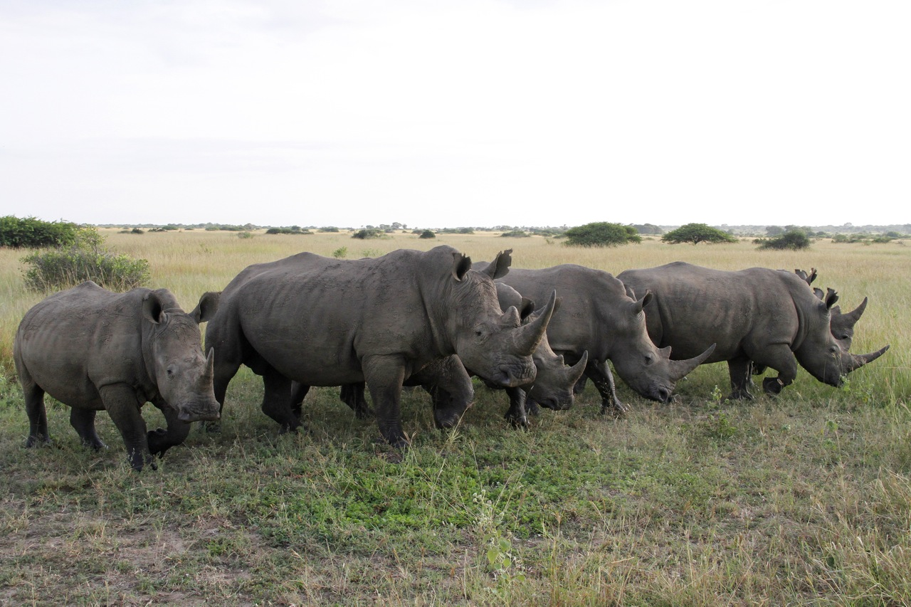 White Rhinocerus herd.