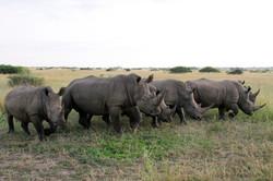 White Rhinocerus herd.