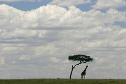 Giraffe Skyscape.