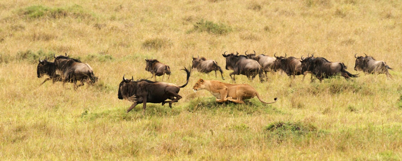 Blue Wildebeest hunt.