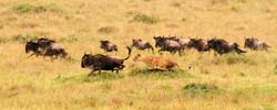 Blue Wildebeest hunt.