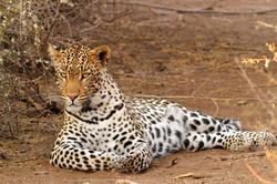 Recling Leopard female.