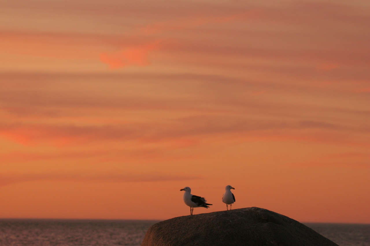 Sunset Gulls.