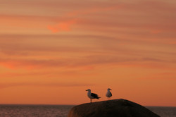 Sunset Gulls.
