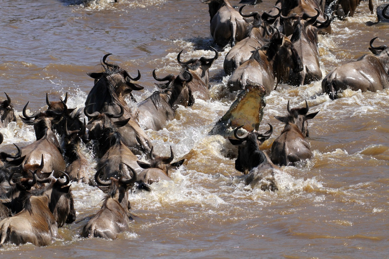 Crocodile among Wildebeest.