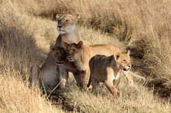 Lioness with Cubs.