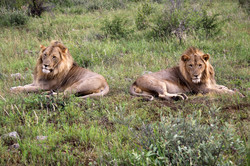 African Lions brothers.