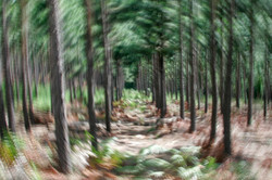 Magical Pine Forest.