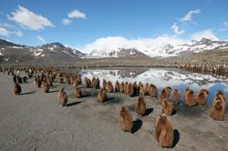 King Penguin Landscape.