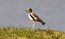 White-Crowned Plover.