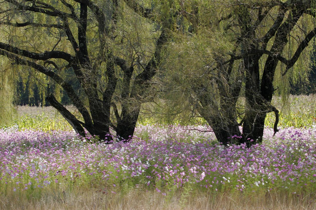 Cosmos Willows.