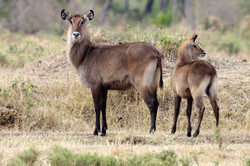Common Waterbuck cow and calf.