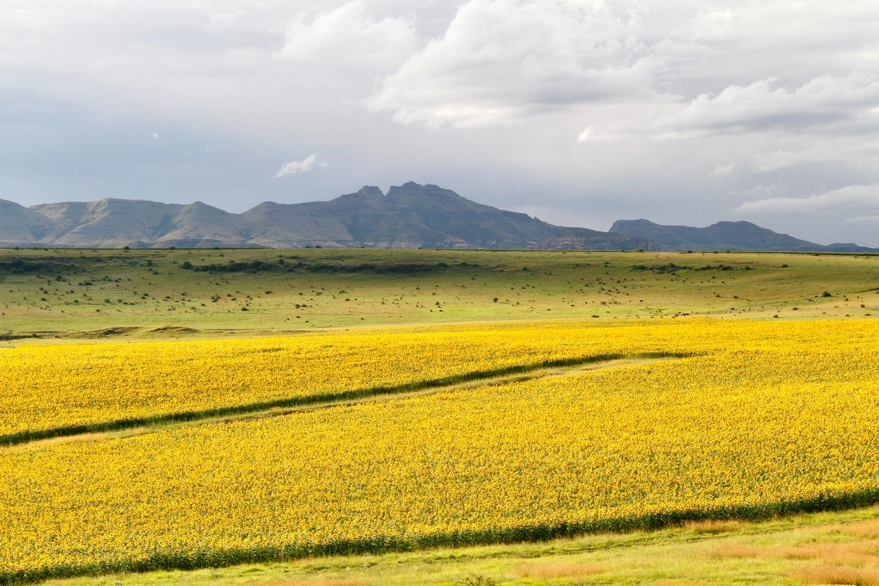 Sunflower fields, Fouriesburg.