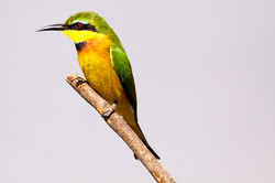 Blue-Breasted Bee-eater.