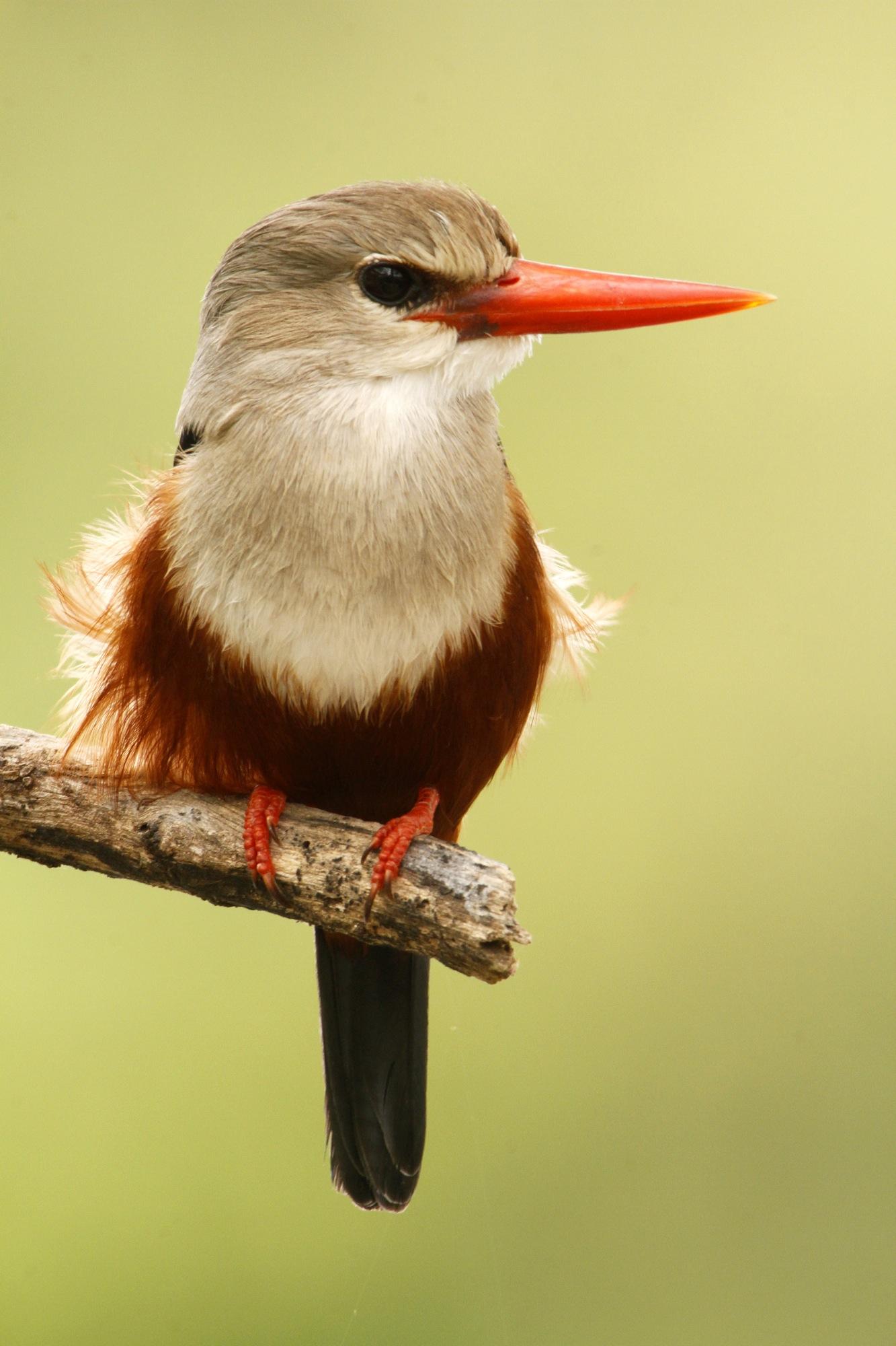 Grey-Headed Kingfisher.