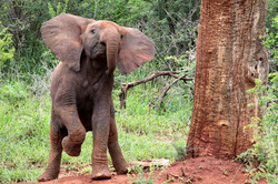 African Elephant Juvenile at play.