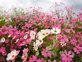 Cosmos in March