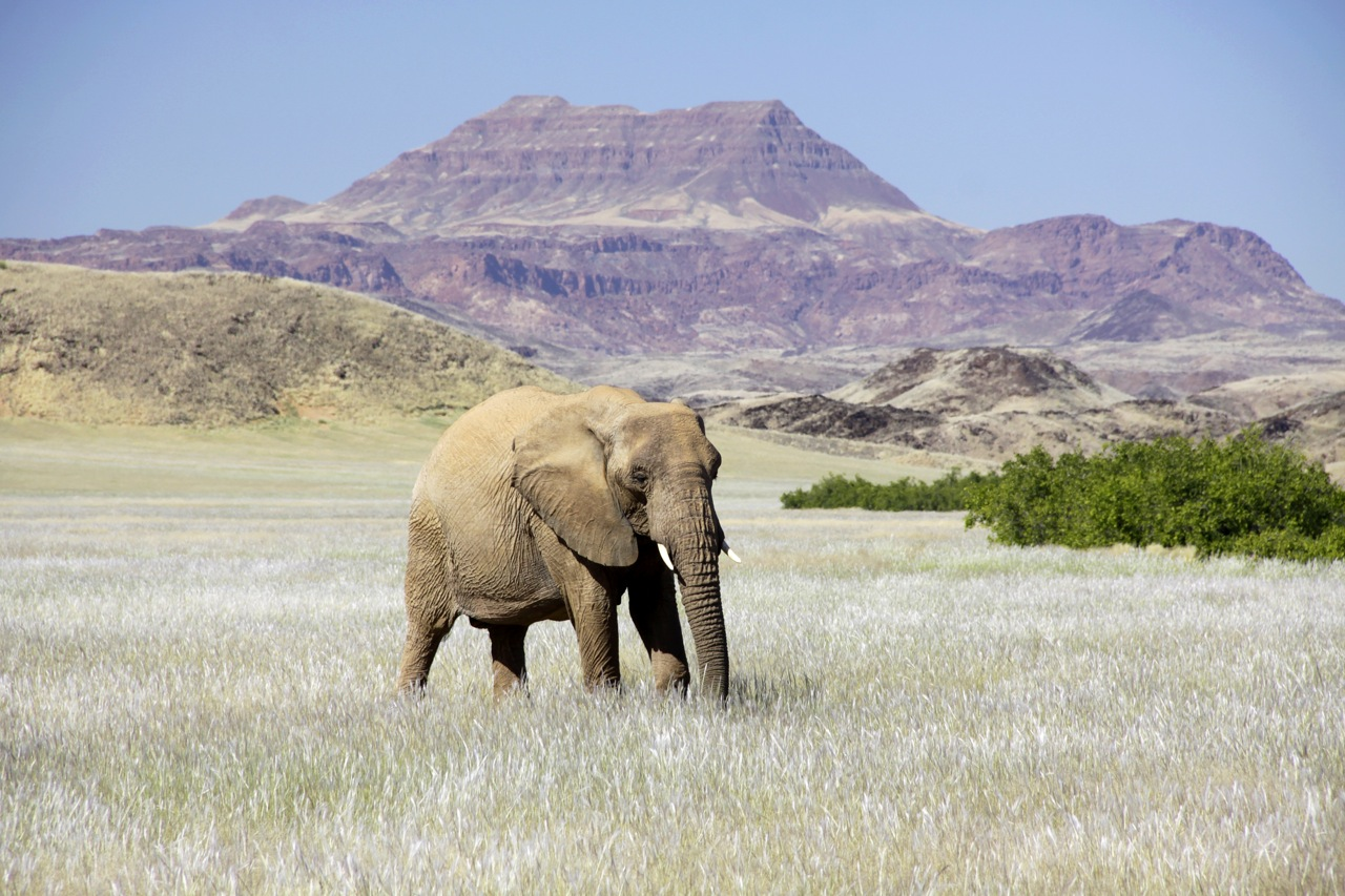 Desert Elephant Bull grazing.