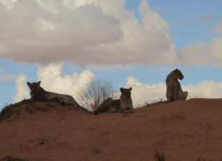 Another Kgalagadi Experience
