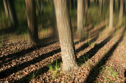 Forest Shadows.