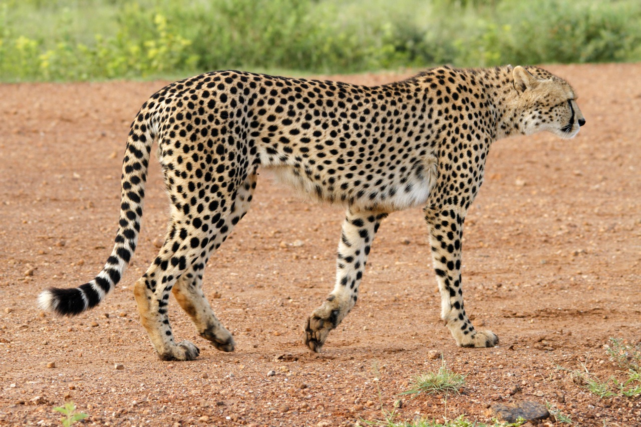 Cheetah male mission.