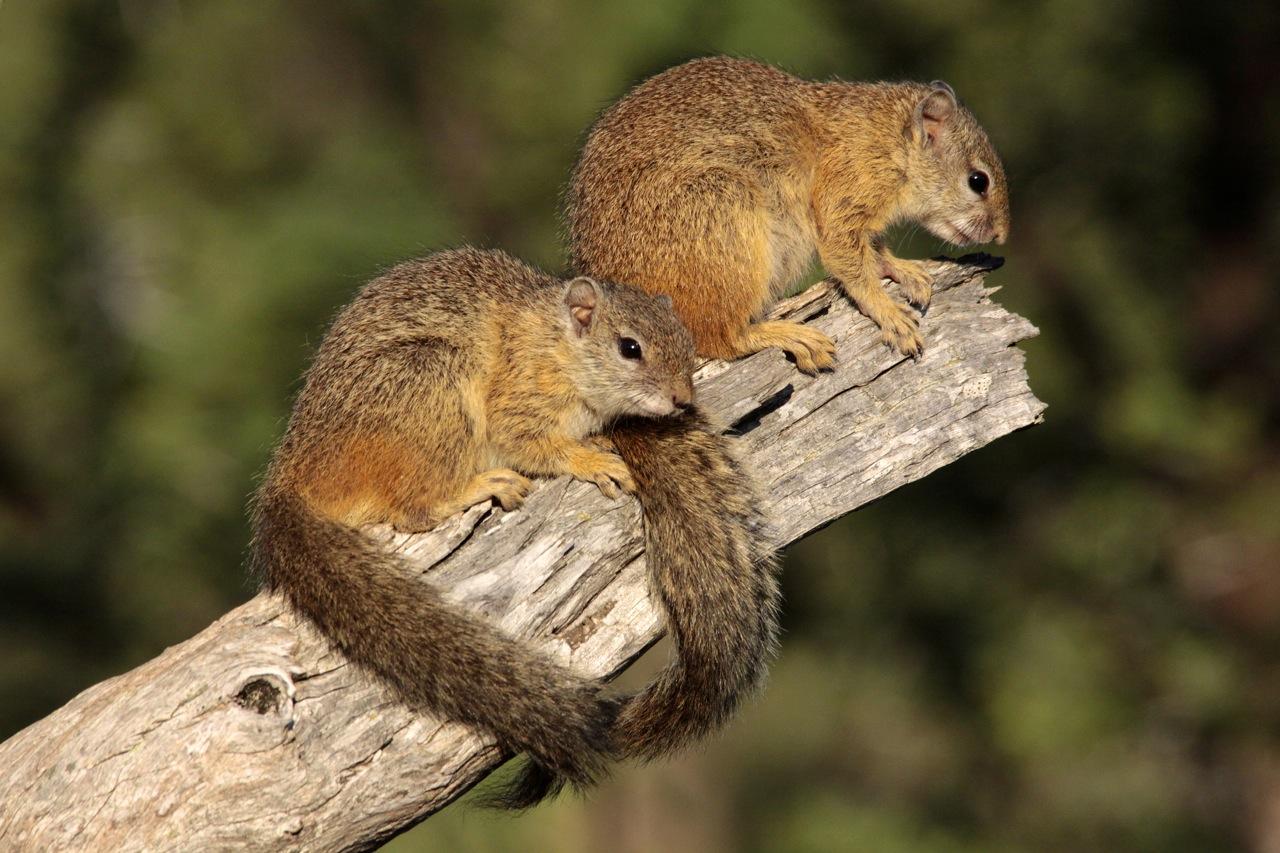 Bush Squirrels sunning.
