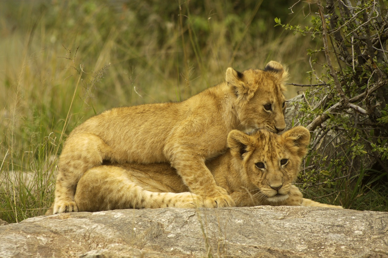 Lion Cubs piggy back.