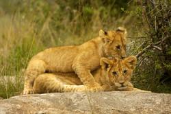 Lion Cubs piggy back.