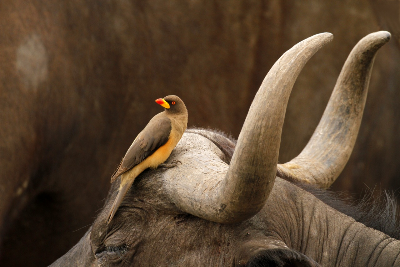 Yellow-billed ox-pecker and Buffalo.