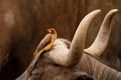 Yellow-billed ox-pecker and Buffalo.