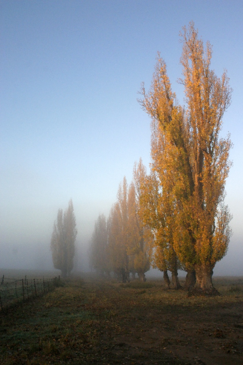 Dappled Misty Poplars.