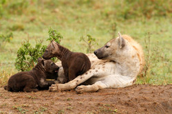 Spotted hyaena and pups.
