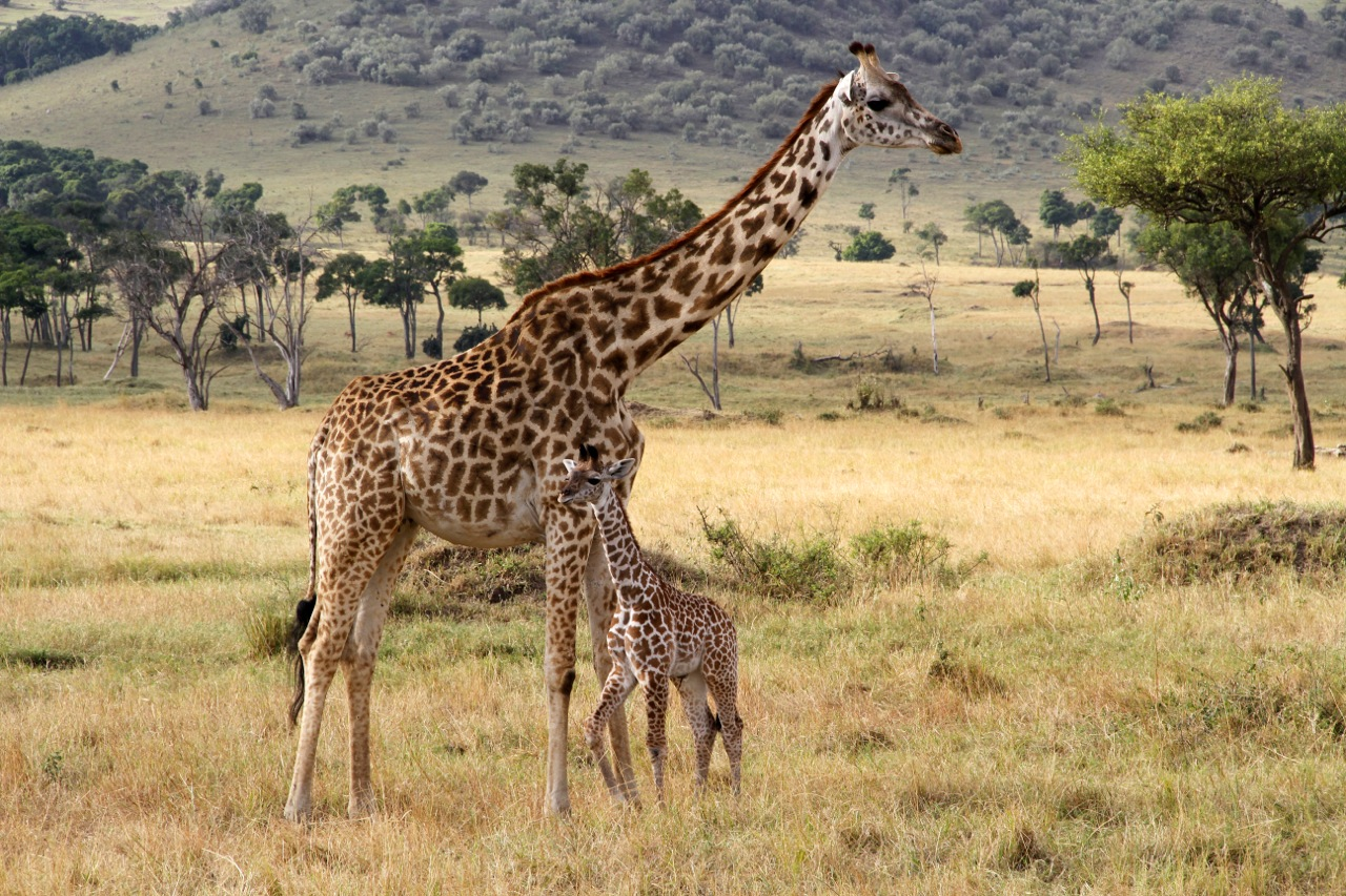 Masai Giraffe and young.