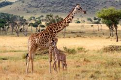 Masai Giraffe and young.