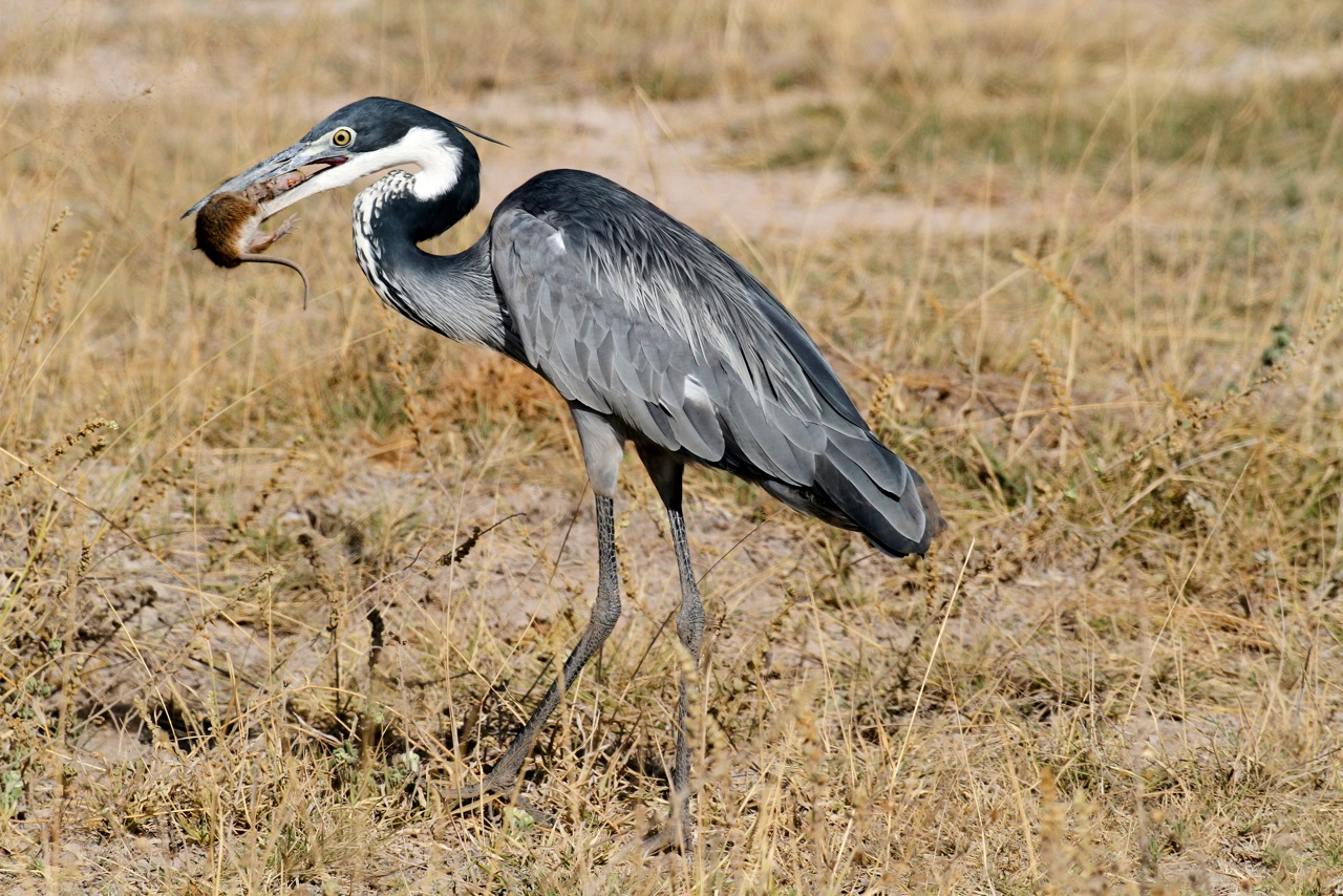 Black-headed Heron with rat prey.