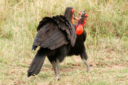 Ground-Hornbill and Mouse Prey.