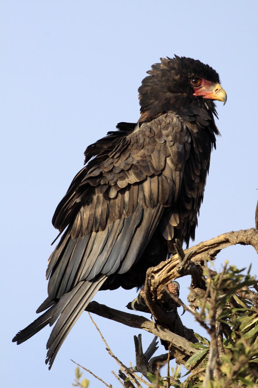 Bateleur Eagle male.