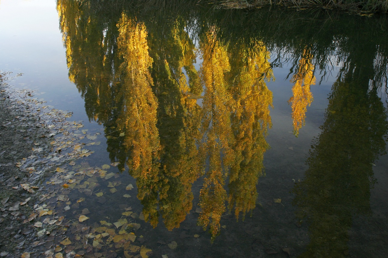 Poplar Reflections.