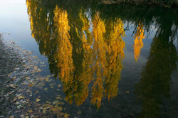 Poplar Reflections.