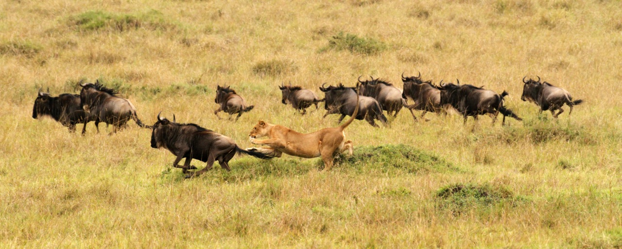 Wildebeest hunt 2.