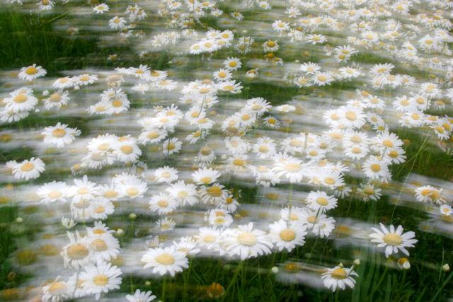Daisy Impression.jpg