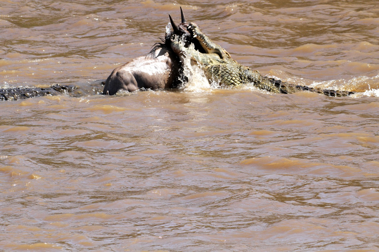 Crocodiles attack wildebeest.
