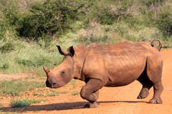 White Rhinocerus calf.