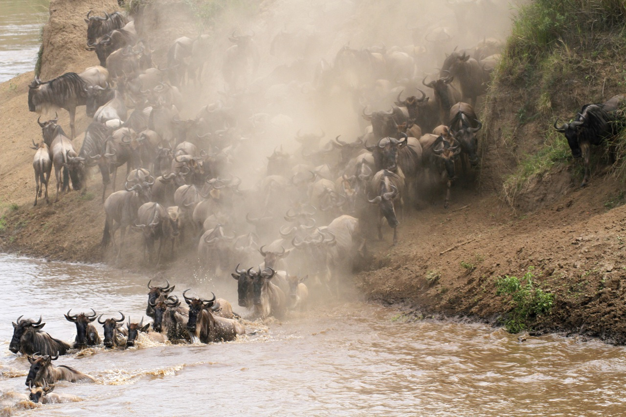 Wilderbeest stampede.
