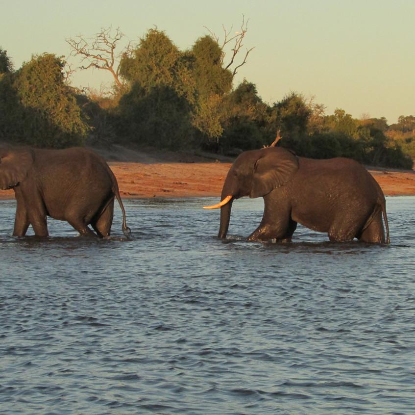 Elephants cross the Chobe