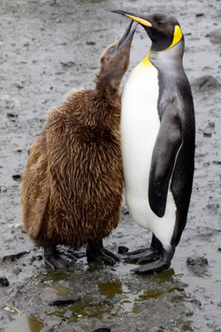 King Penguin and Chick.