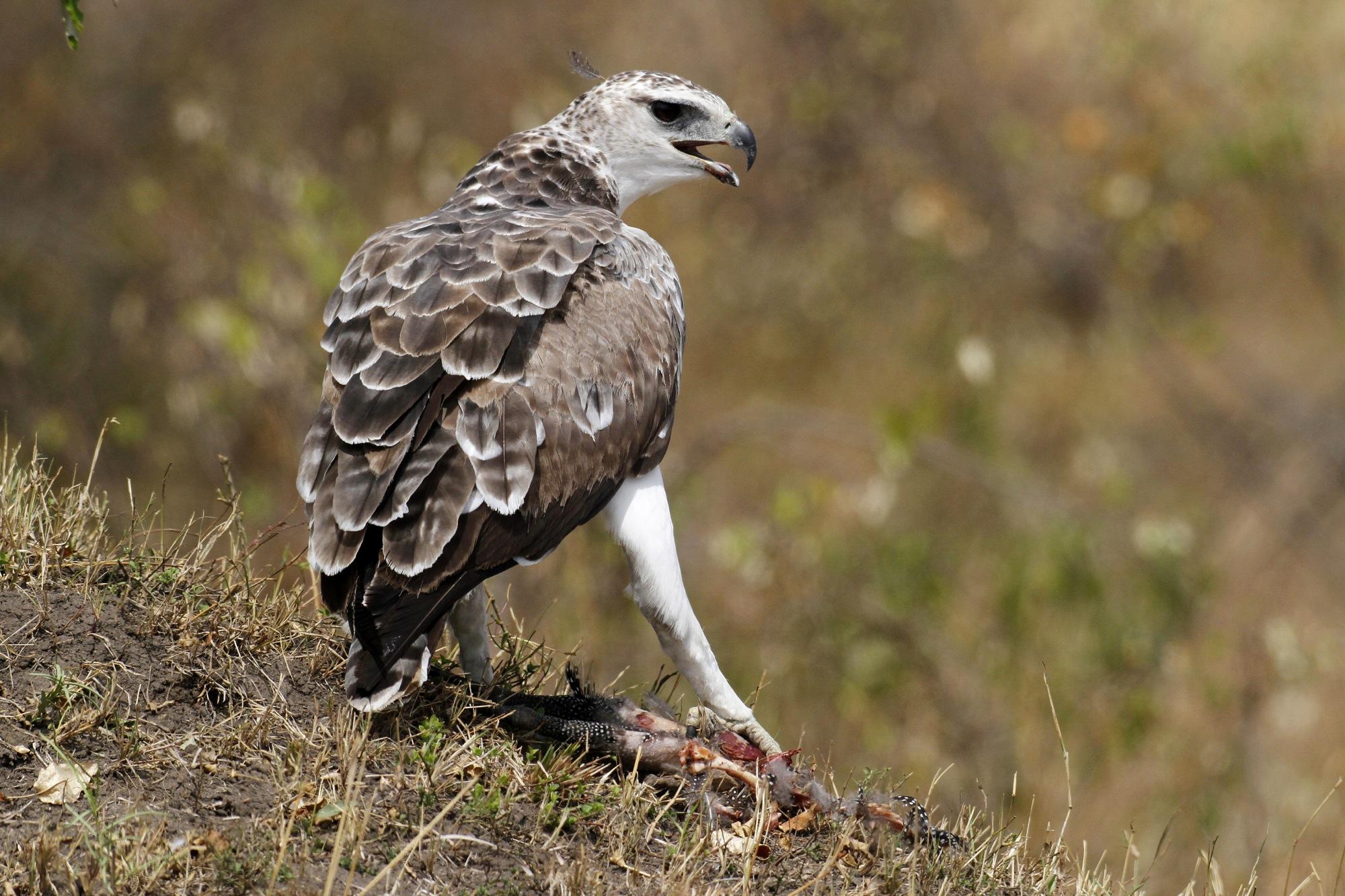 Martial Eagle and prey.