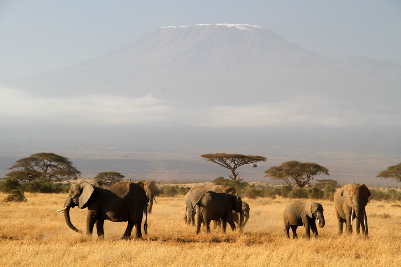 Elephant herd and Kilimanjaro 2.